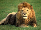 Lion at the safari park, Longleat, Wiltshire, England Source:© Britainonview / - Britain on View