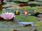 Lily pads at the National Botanic Garden of Wales Source:Steve James